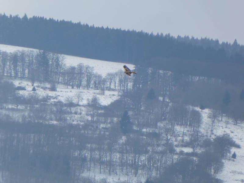 Rotmilan in der bayerischen Rhön im Winter