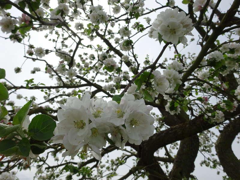 Apfelblüte Stammheim Weinberg Singlewanderung Volkach Fahr Gaibach Maria im Weingarten