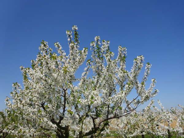 Obstbäume in Weinlage Stammheim Fahr Mainschleife Volkach